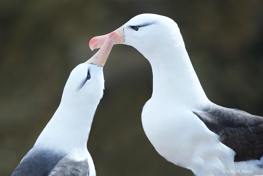 Albatross - Bird Island - Falklands