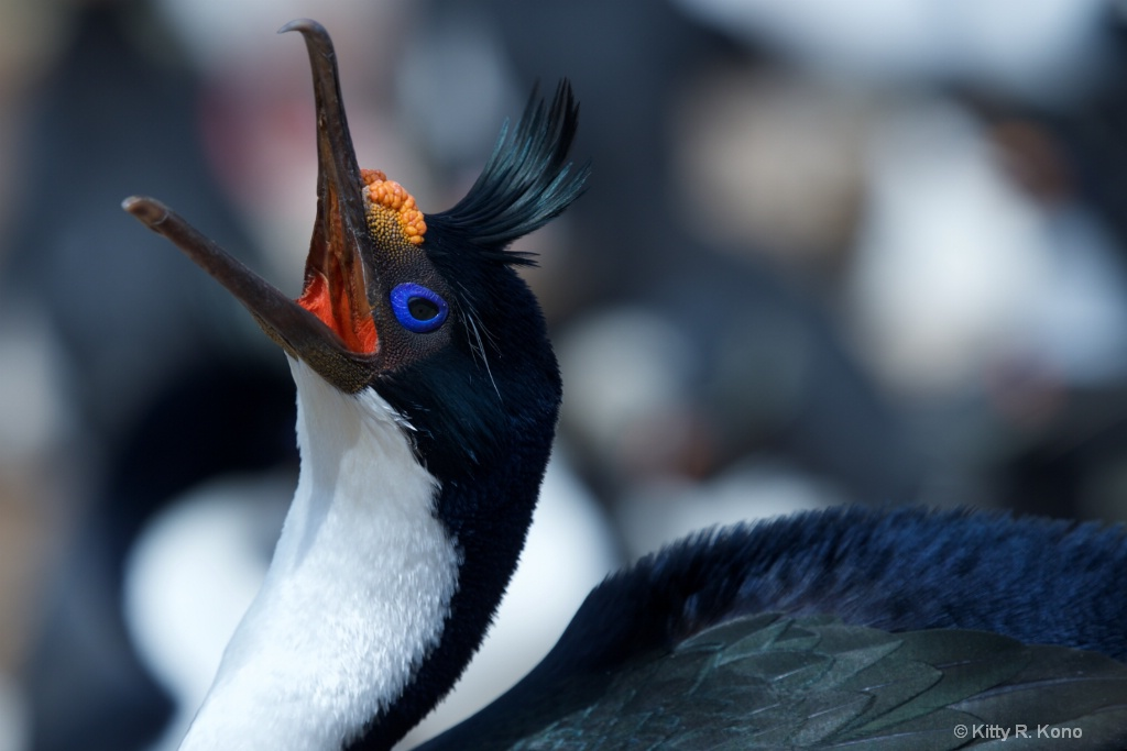 Blue Eyed Shag - Bird Island Faulklands 2