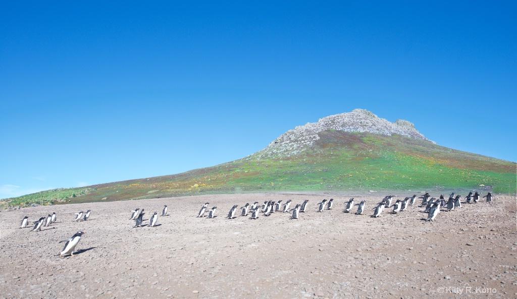 Gentoo Penguin - Steeple Jason Falkland Islands