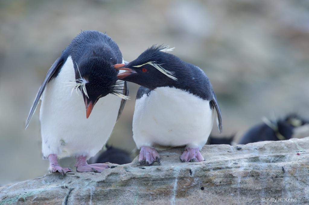 Rock Hopper Penguins in Love - Bird Island - Falkl