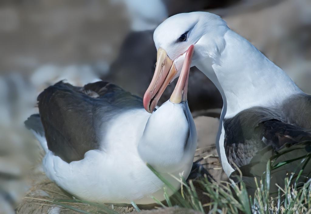 Black Browed Albatross Love