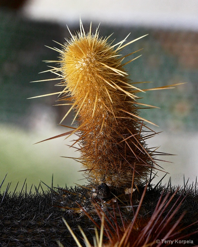 Cactus from Berkeley Botanical Garden