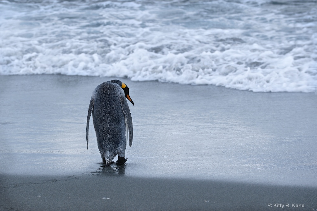 King Penguin going out to sea
