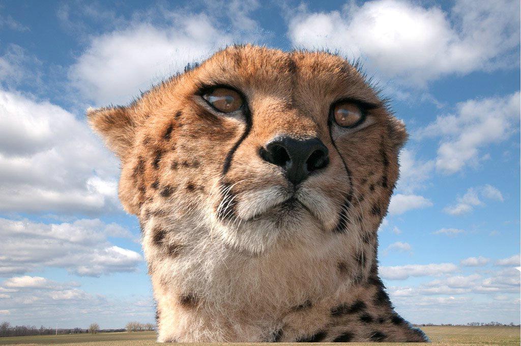 Cheetah- Kenya Africa- Masaii Mara