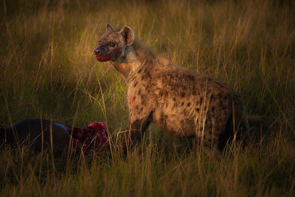 Hyena Kill- Kenya Africa