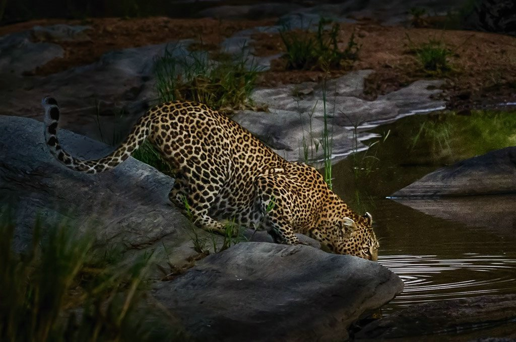 Leopard - Early Morning Drink- Masaii Mara Kenya