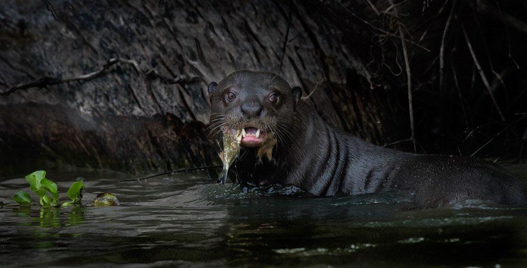 Giant Otter- Brazil Panthanal