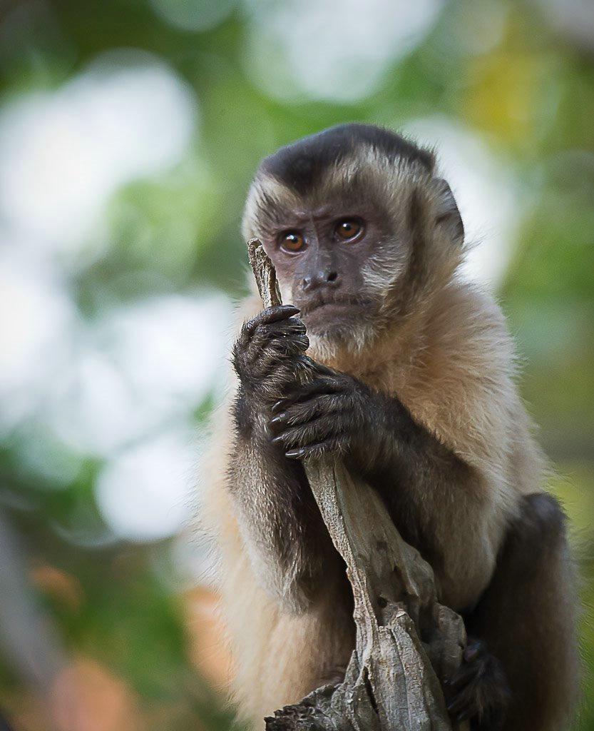 Monkey- Brazil Panthanal