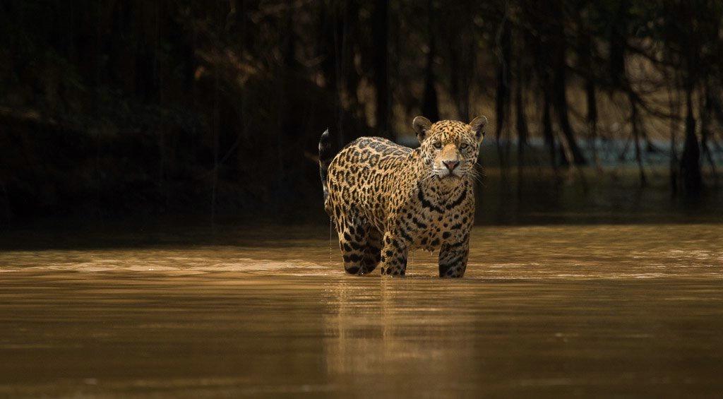 Jaguar Hunting-  Brazil Panthanal
