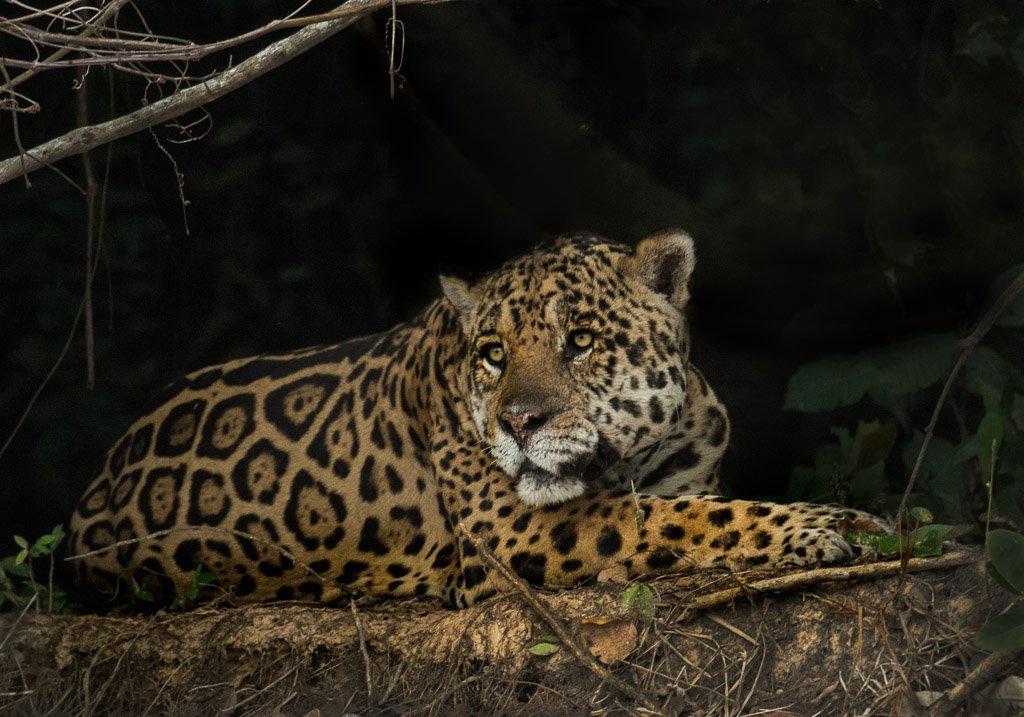 Jaguar - Brazil Panthanal