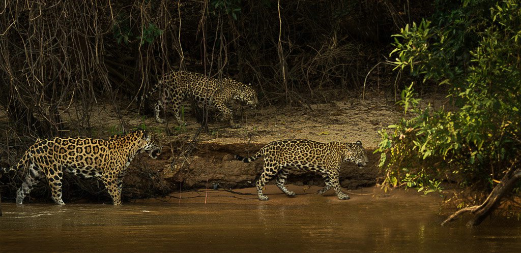 Jaguar Family- Brazil Panthanal