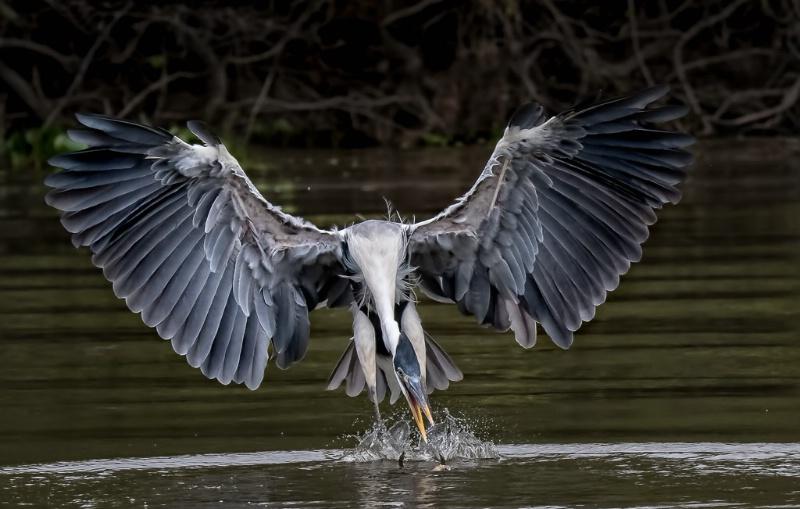 Heron Fishing- Brazil Panthanal