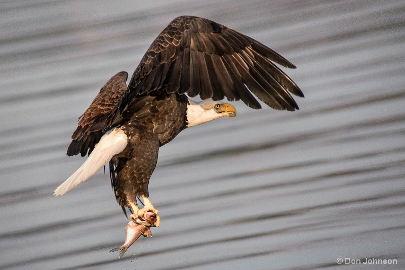 Eagle with Fish 10-22-16 310