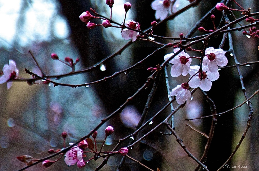 Water Droplets Bloom with Cherry Petals