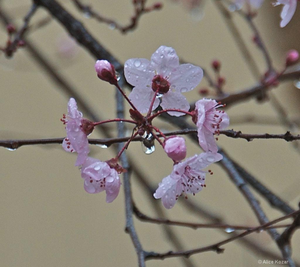 Rain Kissed Cherry Blossoms