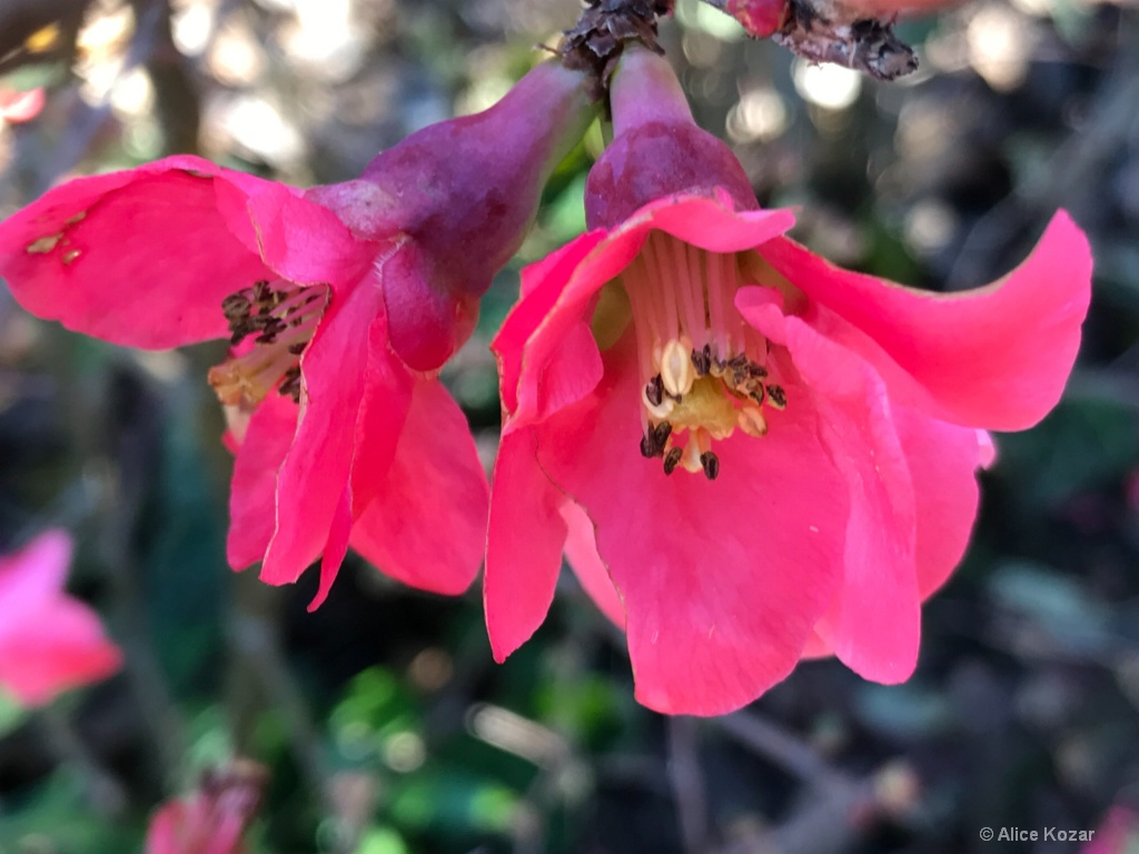 January Surprise -  Paired Quince Blossoms