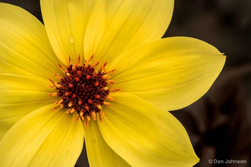 Beautiful Yellow Dahlia 4-30-16 262