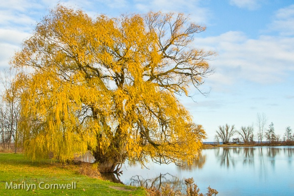 Willow at Charles Daly Park