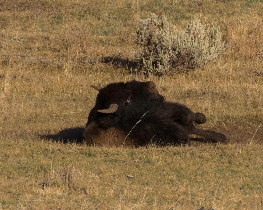 Scratchin' Bison