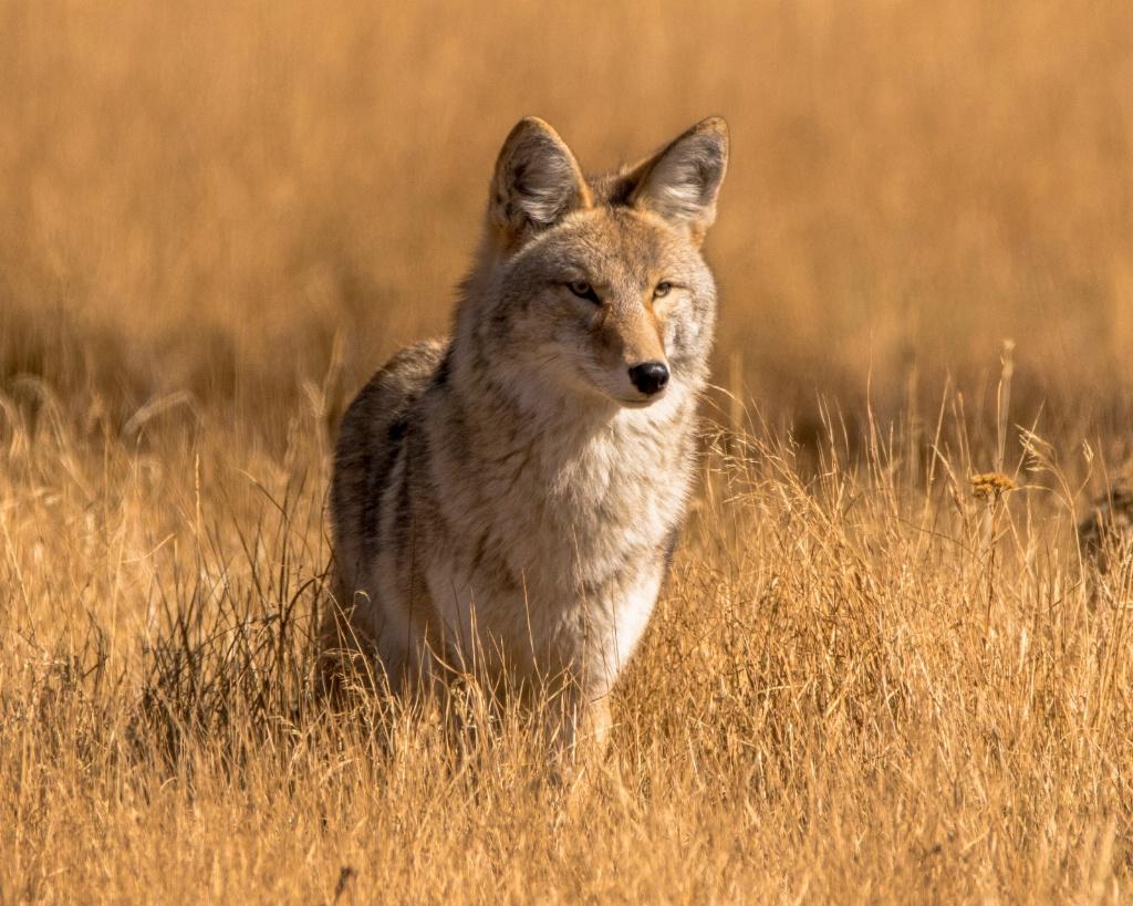 Regal Coyote