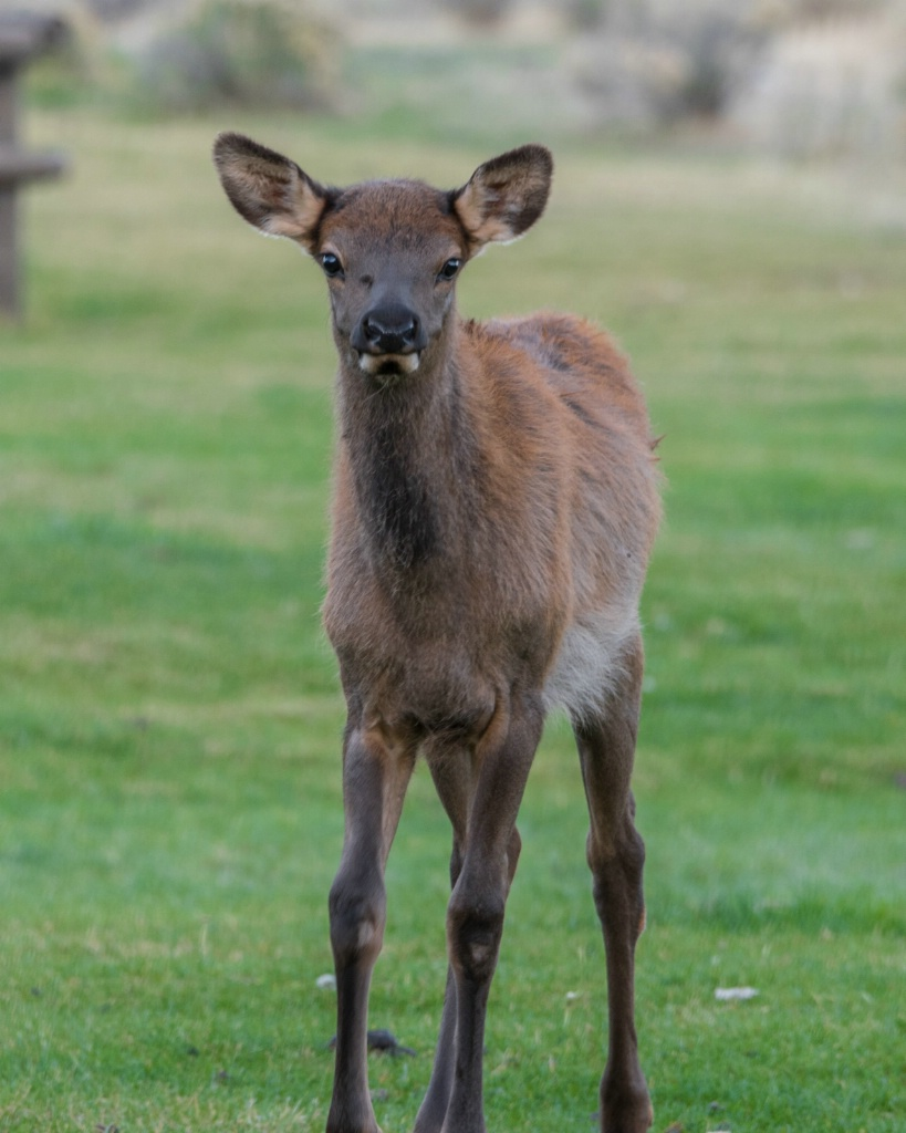 Young Elk in Mamouth