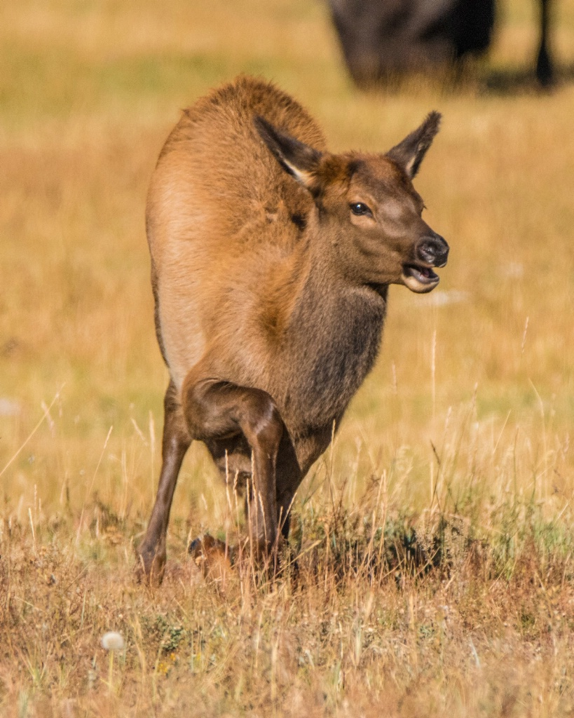 Young Elk Wakes Up