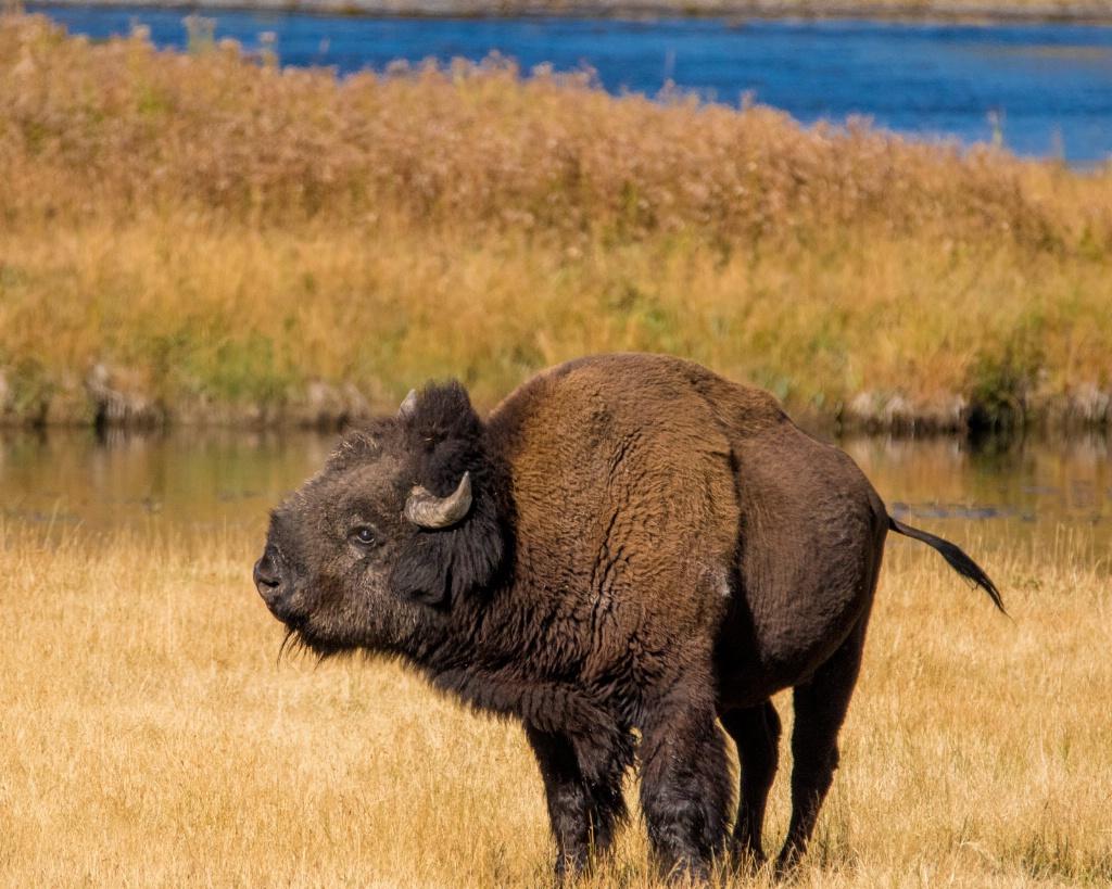 Shake the Bison