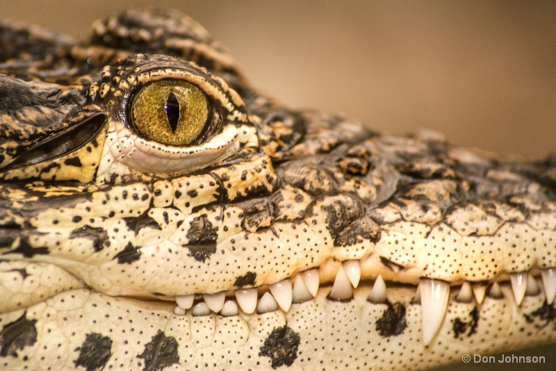 Cuban Croc Smile 1-27-17 070