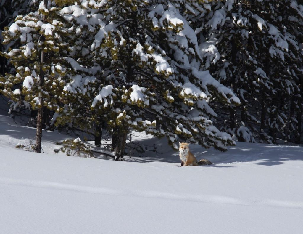 FOX SITTING PRETTY
