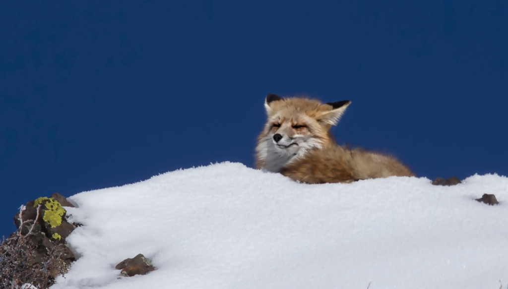 FOX ON RIDGE