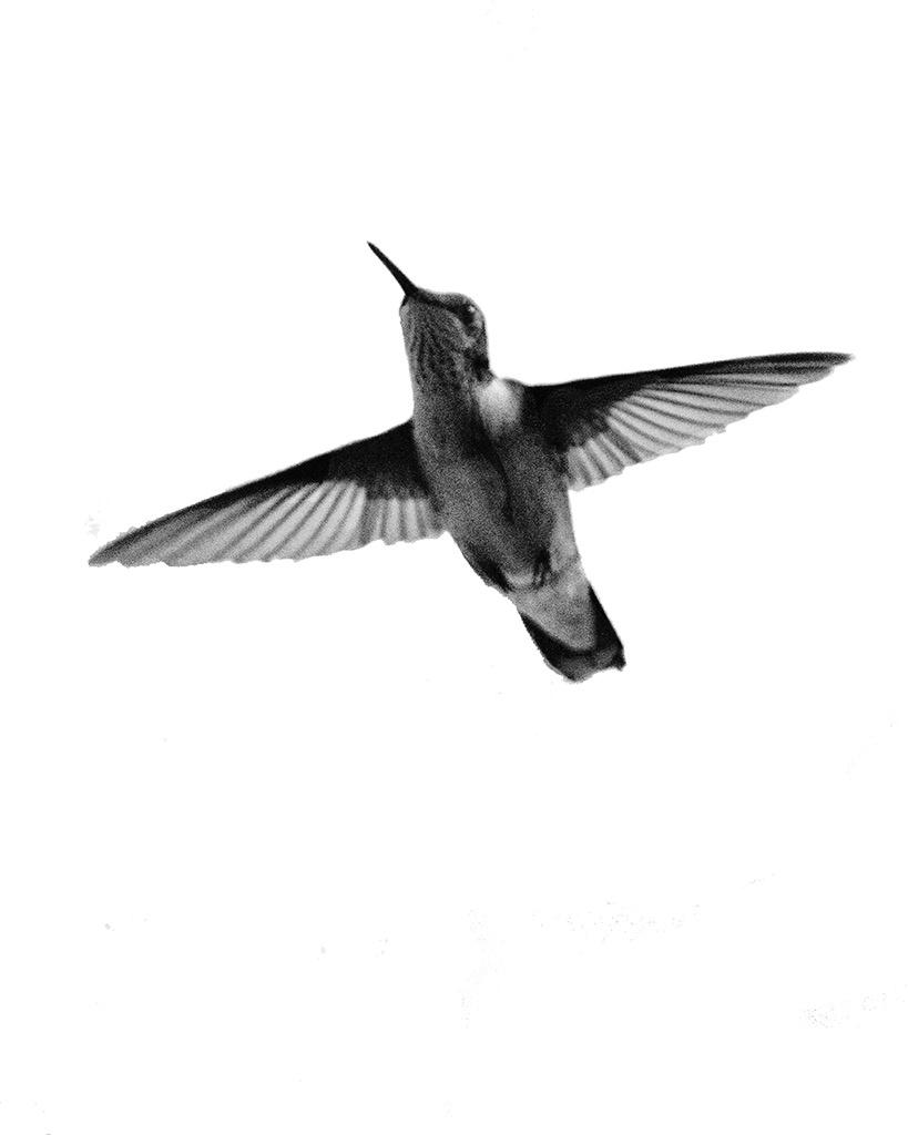 HUMMINGBIRD AT WINDOW 2016 Nominee ICA