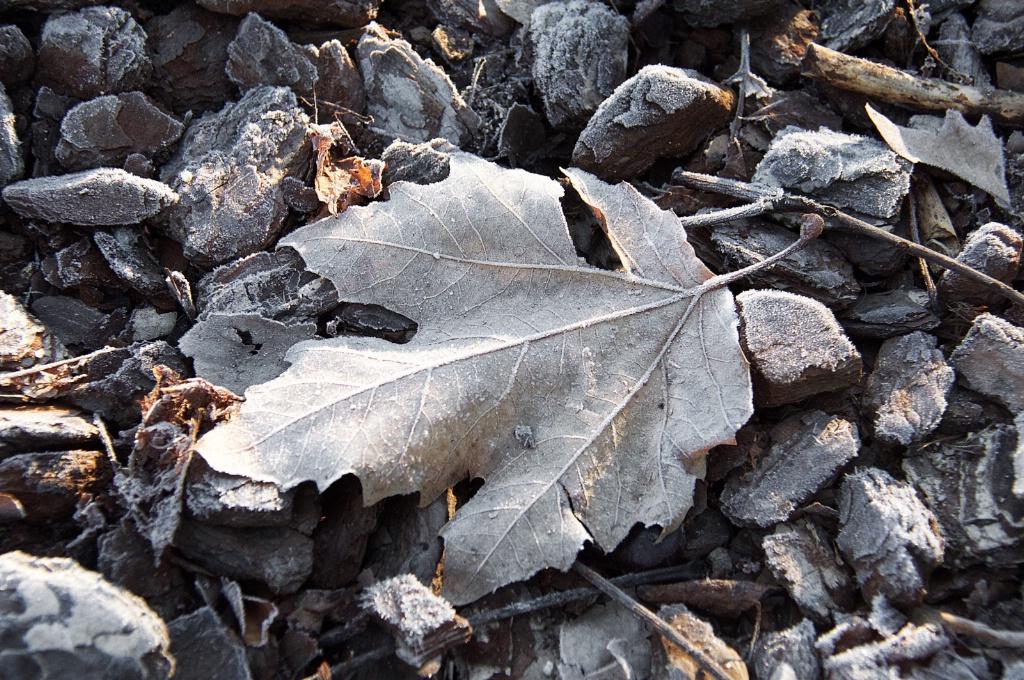 Frosty Leaf 1
