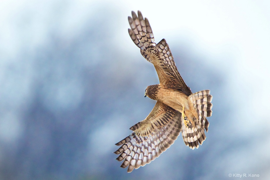 Harrier Overhead