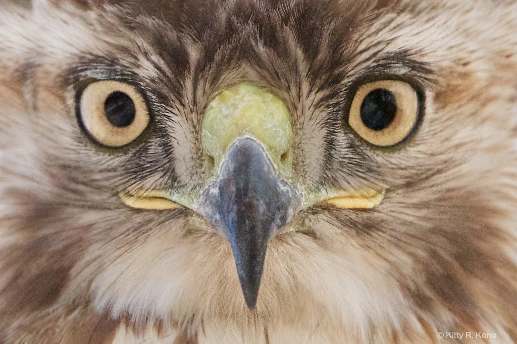 Face of Red Tailed Hawk