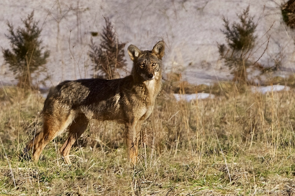 The Beautiful Valley Forge Coyote