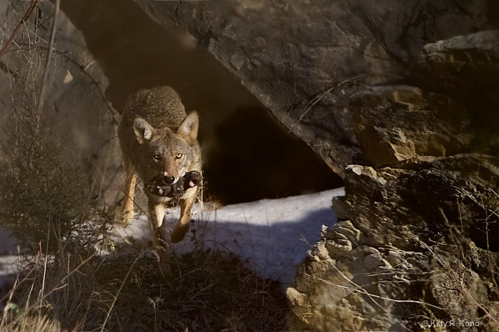 Coyote with Brand New Baby