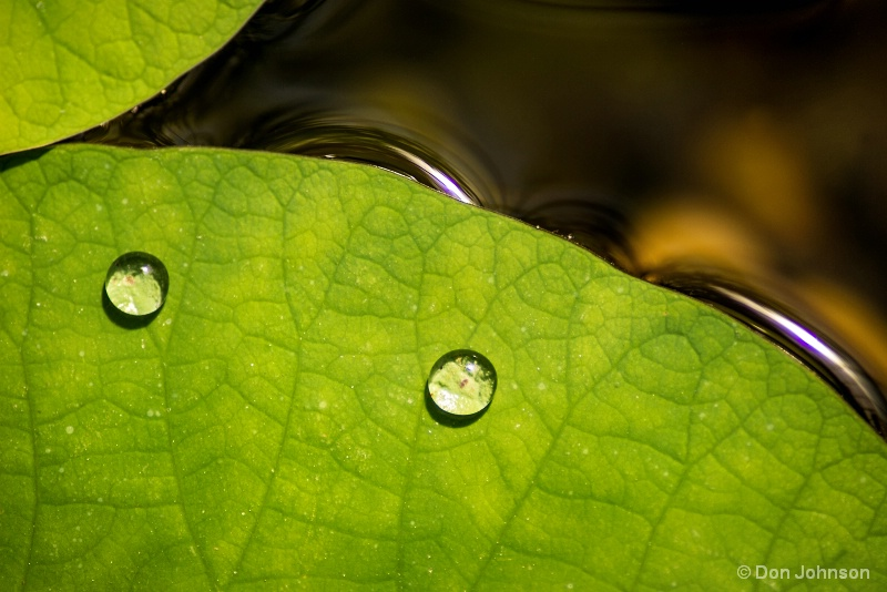 Water Drops on Lily Pad 3-19-17 149