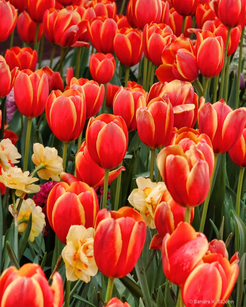 Tulips on Fire 2