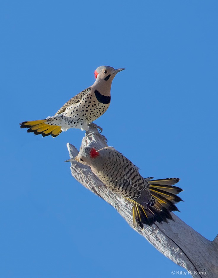 Flickers Flirting in Valley Forge