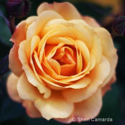 Fresh Peach Rose