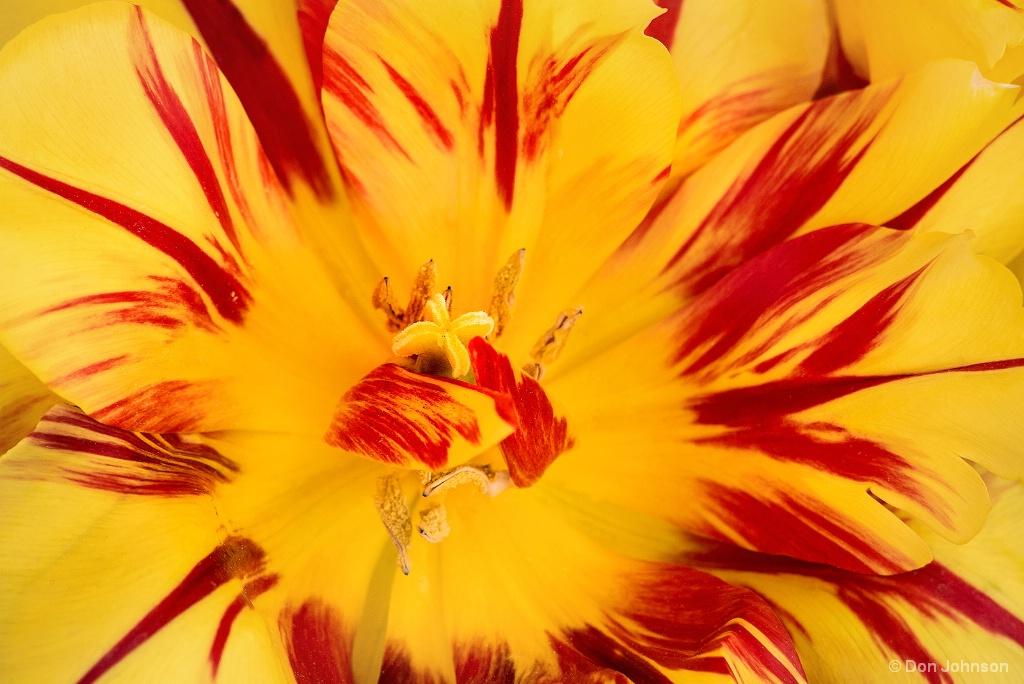 Multi-Colored Tulip 4-22-17 570
