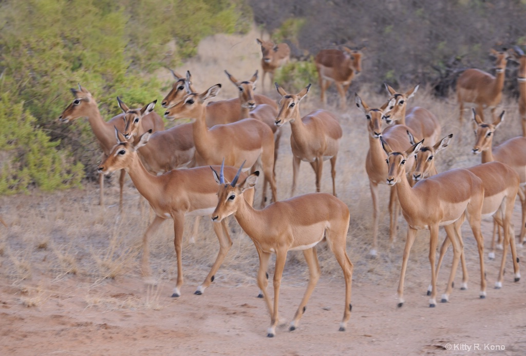 Female Impalas Crossing the Path