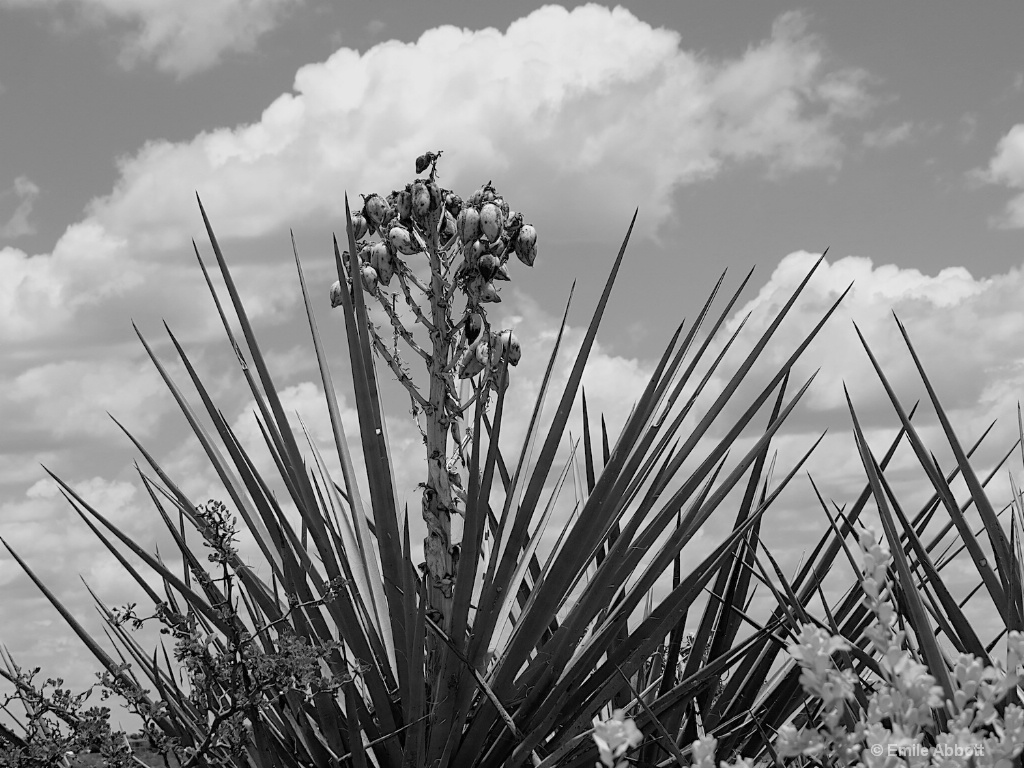 Yucca in B&W