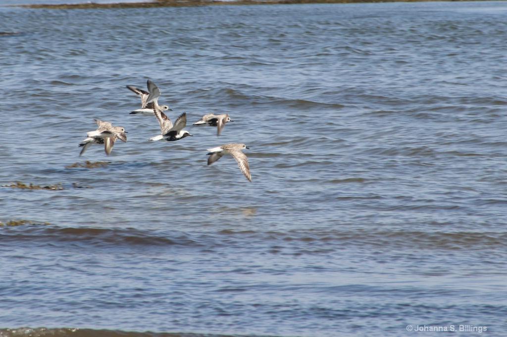 Plovers in Flight