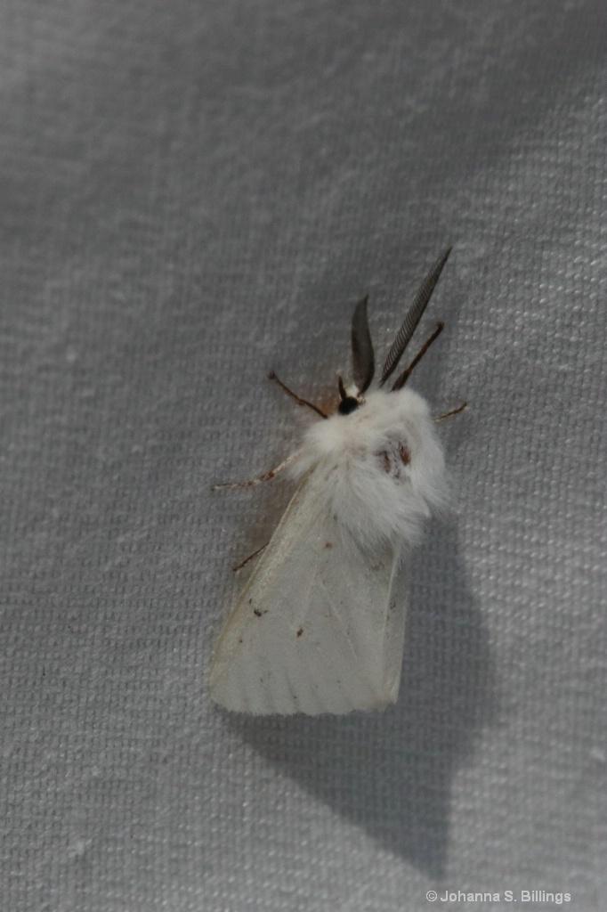 Tiger Moth?