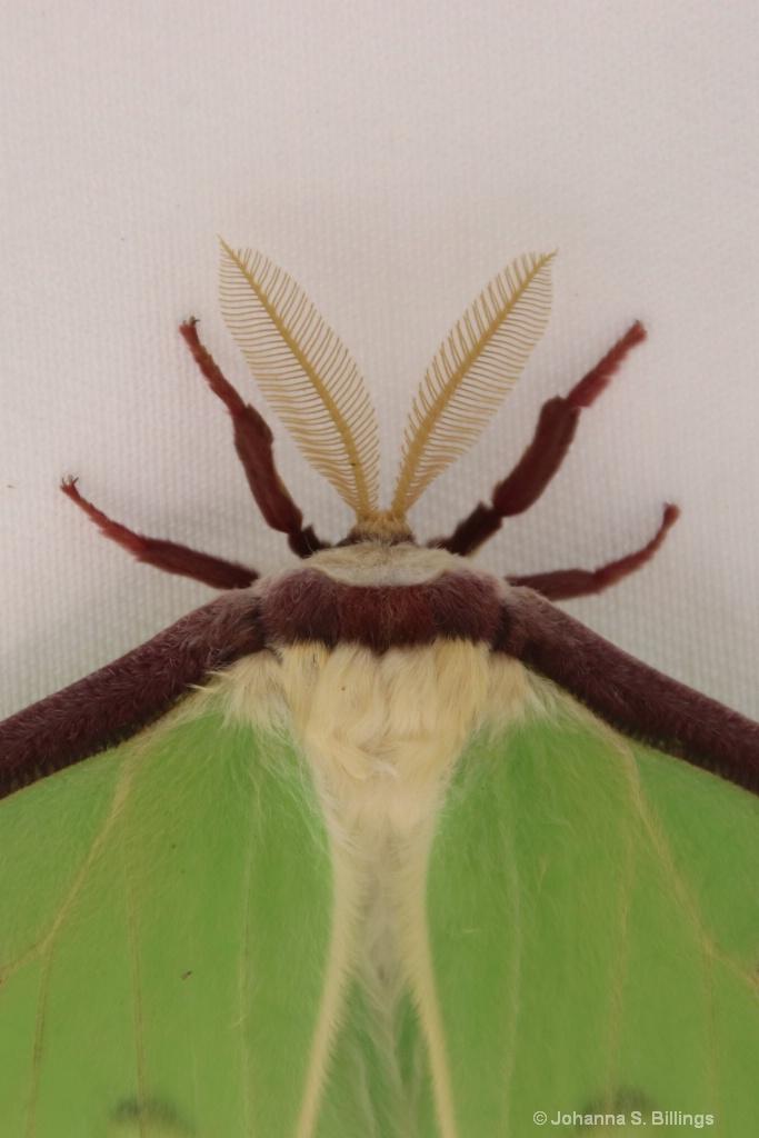 Moth the Hoople