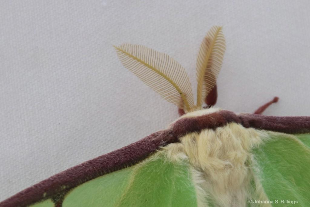 Antennae II