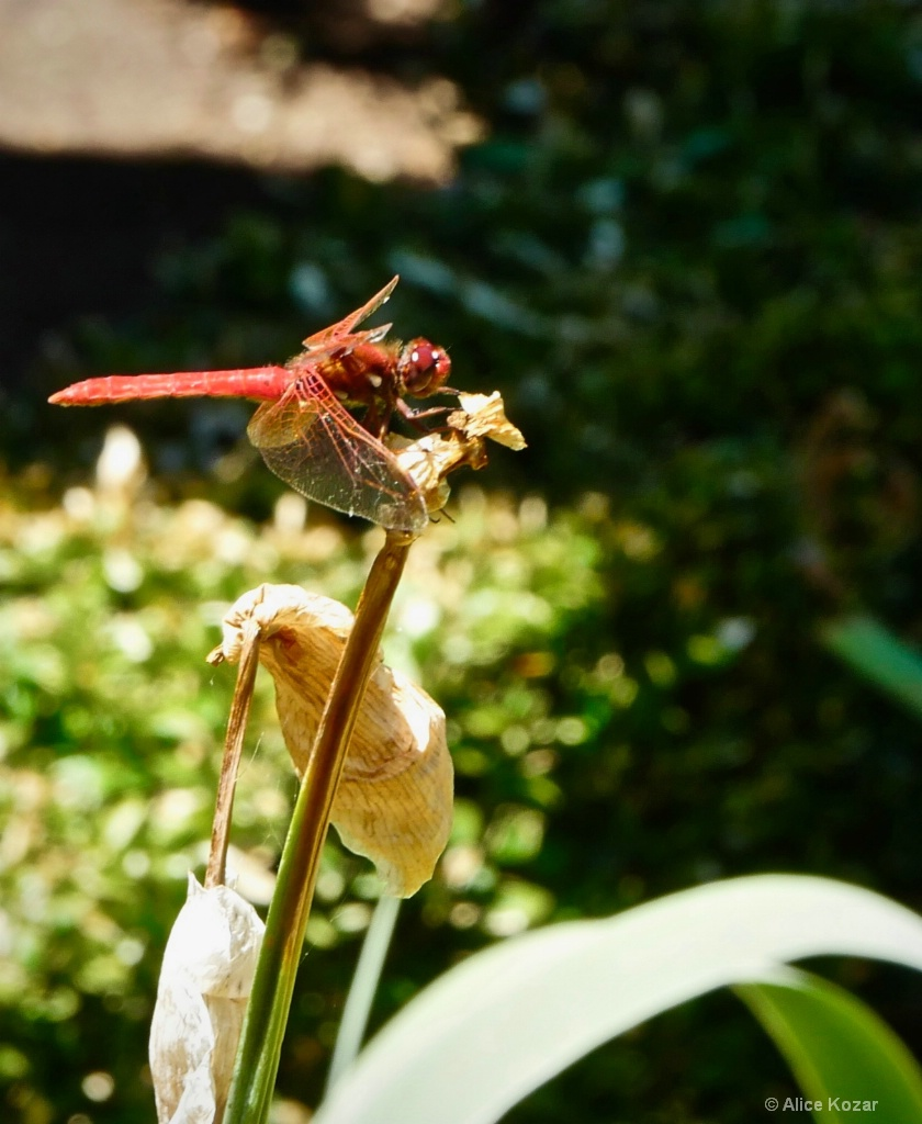 Dragonfly Poised for Attack