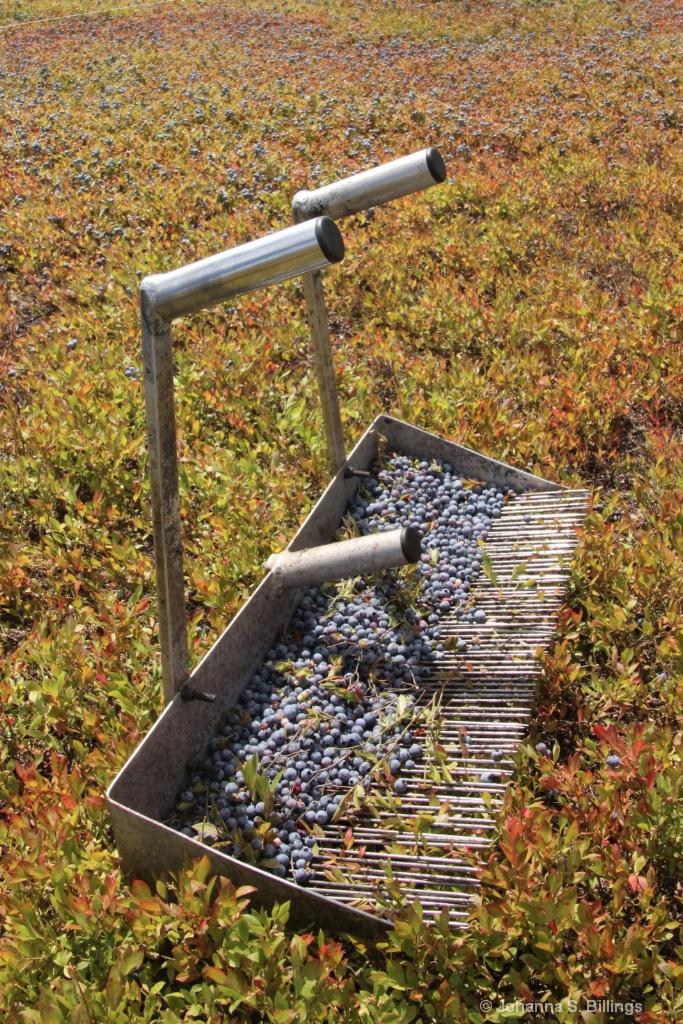 Blueberry Rake