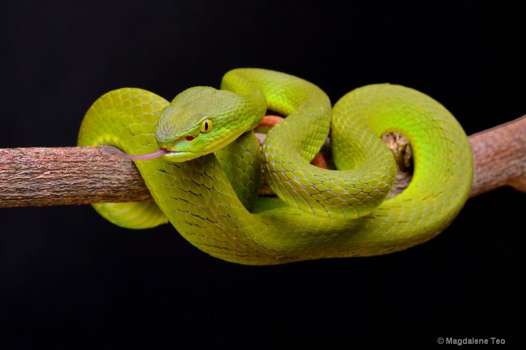 Lovely Green Pit Viper